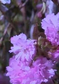 Lần đầu tiên Lễ hội hoa anh đào được tổ chức tại Đồng Nai