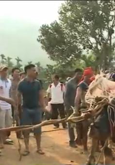 Quảng Ngãi: Nhiều gia đình lâm vào cảnh nợ nần sau lễ đâm trâu