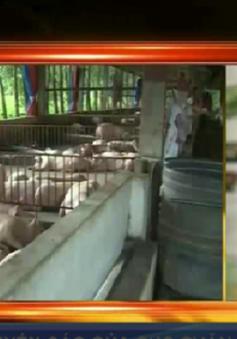 Trung Quốc đẩy mạnh nhập khẩu, giá lợn hơi Việt Nam tăng cao