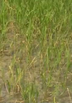 Mặn xâm nhập sâu vào vùng giáp ranh TP. Cần Thơ