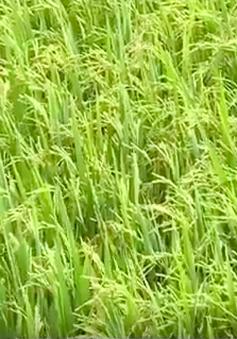 Nghịch lý giá lúa tăng, giá gạo xuất khẩu tiếp tục giảm