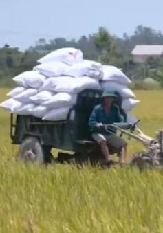 Thanh Hóa xây dựng vùng lúa gạo hữu cơ