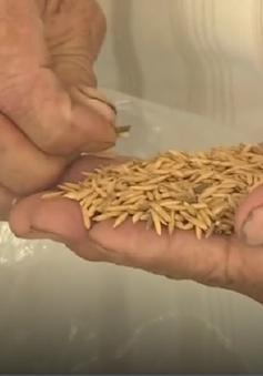 """""""Loạn"""" thị trường lúa giống"""