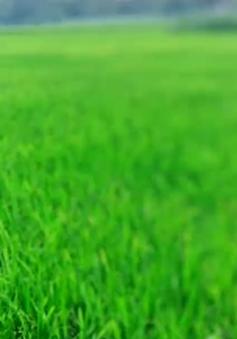 Ứng phó với mùa Đông ấm trong vụ lúa Đông Xuân