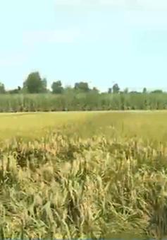 Thất mùa mất giá, người trồng lúa ở Sóc Trăng điêu đứng