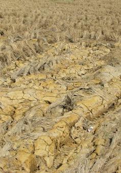 Nguy cơ thiệt hại hàng nghìn hecta lúa trồng tự phát ở Hậu Giang