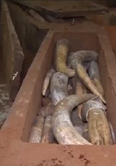 Bắt vụ buôn lậu ngà voi lớn nhất từ trước đến nay