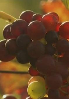 Rượu vang Myanmar hướng đến thị trường ngoại