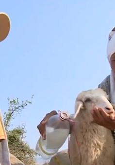 Người dân Ninh Thuận nhọc nhằn tìm nguồn sống cho đàn cừu