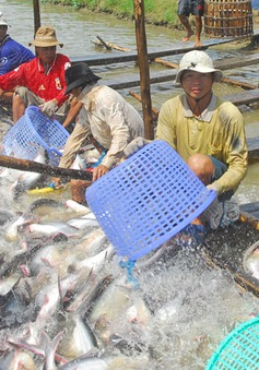 Nguy cơ cá tra, ba sa Việt Nam xuất khẩu vào Mỹ chịu thuế cao hơn