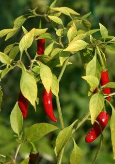 Indonesia bắt giữ 4 người Trung Quốc trồng ớt nhiễm khuẩn