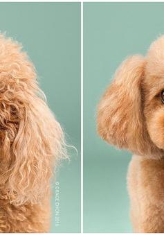 """""""Chết ngất"""" với vẻ đáng yêu của những chú chó sau khi cắt tỉa lông"""