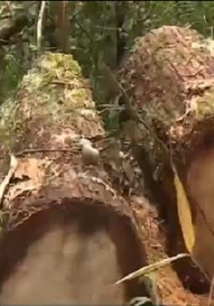 Quảng Nam kiên quyết xử lý nghiêm vụ phá rừng pơ mu