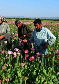 Vì sao Afghanistan là thiên đường thuốc phiện của thế giới?