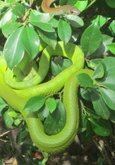 Báo động tình trạng rắn lục đuôi đỏ cắn người tại Cần Thơ