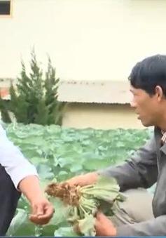 Lâm Đồng: Bùng phát bệnh sưng rễ cây họ thập tự