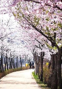 Vẻ đẹp mùa hoa anh đào tại Nhật Bản