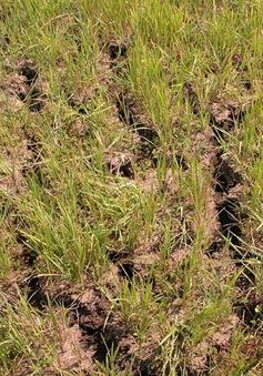 Hơn 60% diện tích đất nông nghiệp của thị xã An Khê, Gia Lai thiếu nước tưới