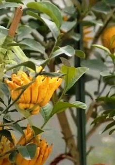 Phật thủ bonsai được nhiều người lựa chọn