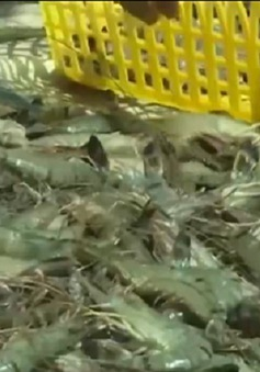 Phát hiện cơ sở bơm tạp chất vào tôm tại Cà Mau