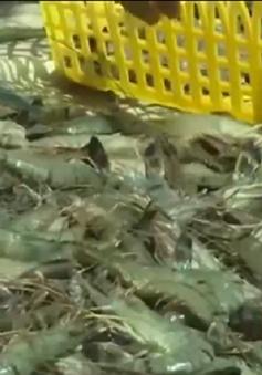 Bơm tạp chất tràn lan, thương hiệu tôm Việt bị ảnh hưởng nặng nề