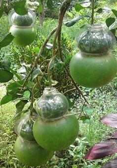Trái cây độc lạ tại ĐBSCL giảm năng suất