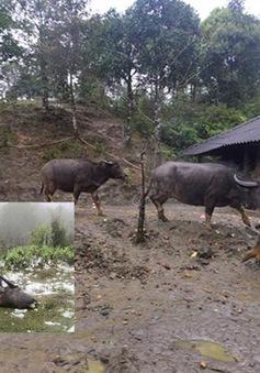Ít nhất 800 con trâu bò chết rét tại các tỉnh phía Bắc