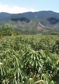 Nông dân Phú Yên ồ ạt trồng sắn