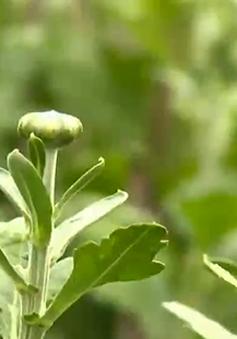 Người trồng cúc Tết lao đao vì trời lạnh bất thường