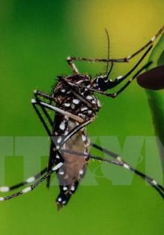 Muỗi thường cũng có thể truyền virus Zika
