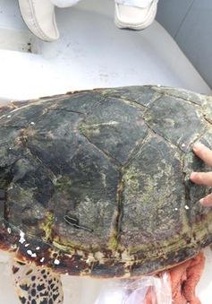 Bình Thuận: Thả đồi mồi quý hiếm nặng 16kg về biển
