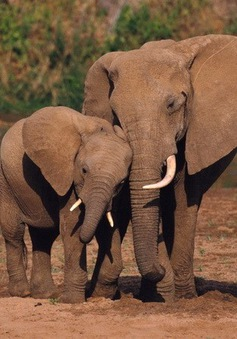 Báo động số lượng voi châu Phi giảm