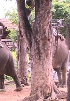 Đăk Lăk: Hỗ trợ đàn voi nhà sinh sản