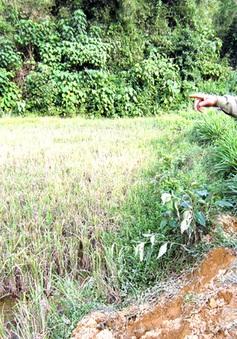 Xuất hiện voi rừng phá hoại hoa màu ở Nghệ An