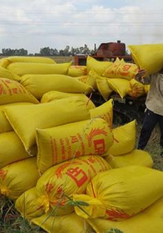 Bình Định: Giá lúa tăng, nông dân không có lúa để bán