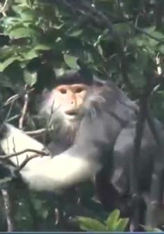 Quảng Bình xuất hiện đàn khỉ mặt trắng đen