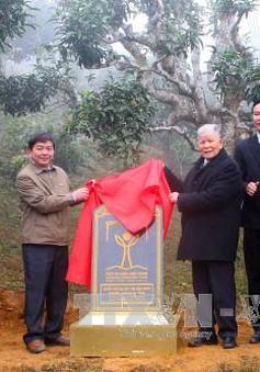 400 cây chè Shan cổ thụ Suối Giàng được công nhận là cây di sản Việt Nam