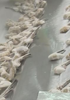 Doanh nghiệp xuất khẩu tôm vào Australia đối mặt nguy cơ phá sản