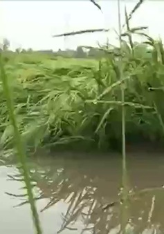 20.000 ha lúa ngã đổ do mưa trái mùa ở Hậu Giang