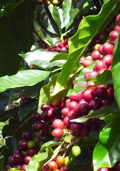 Cà phê ở Đông Nam Bộ và Tây Nguyên giảm giá từng ngày