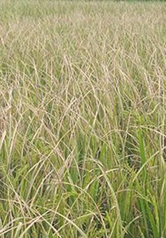 Hàng nghìn ha lúa tại Quảng Ngãi bị sâu bệnh gây hại