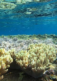 Giải cứu rạn san hô lớn nhất thế giới bằng... giấm