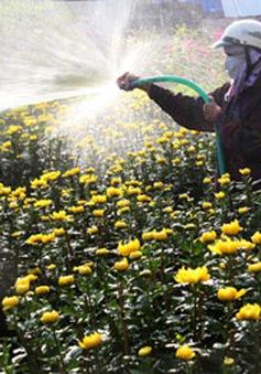 Nghịch lý hoa Tết giá cao, nhà vườn vẫn lỗ