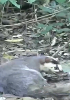 Bình Thuận thả cá thể chồn Bạc Má về rừng