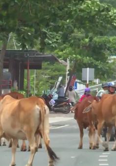 Bò thả rông giữa phố Nhà Trang, tiềm ẩn nguy cơ tai nạn