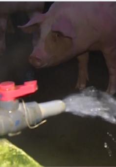 TP.HCM: Bắt cơ sở bơm nước vào lợn trước khi bán ở Củ Chi