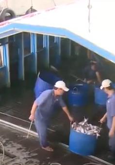Giá cá tra tăng kỷ lục, doanh nghiệp ráo riết săn hàng