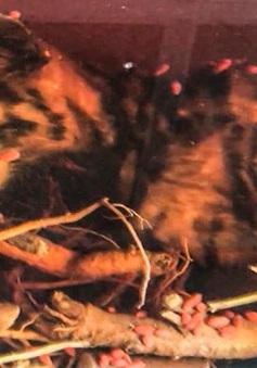 Công an tỉnh Lâm Đồng phát hiện 2 cá thể hổ ngâm rượu và đông lạnh