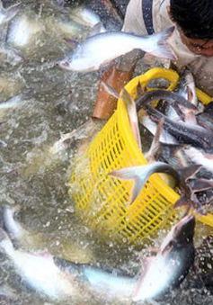 Xuất khẩu cá tra vào ASEAN khả quan