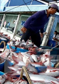 Nhiều tác động từ việc giá cá tra tăng đột biến
